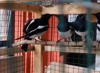 cara merawat kacer baru beli di pasar burung (ombyokan) terbaru