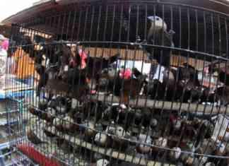 tips perawatan burung bakalan agar cepat gacor terbaru